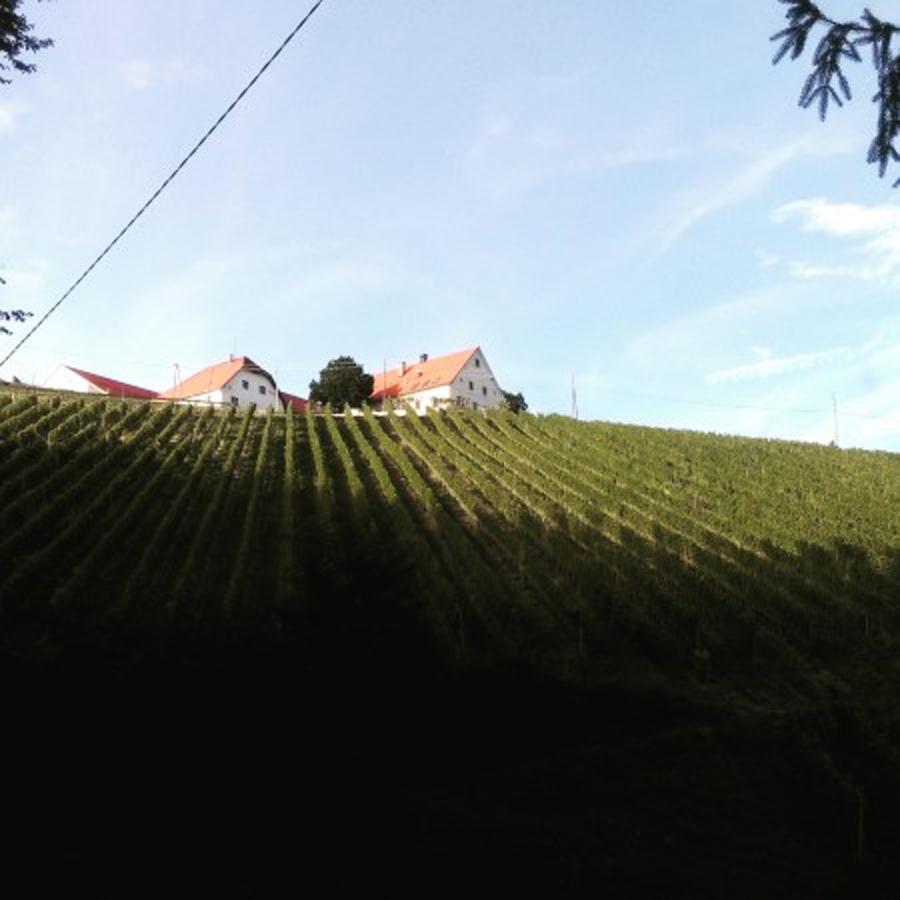 Sedaj že obran vinograd Sauvignona