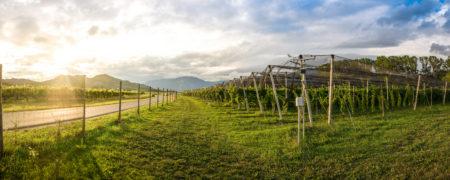 Naš vinograd obsijan s soncem (foto: Veronika Kravos)