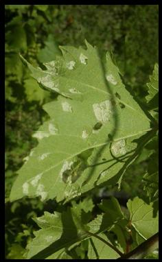 Peronospora na listih vinske trte