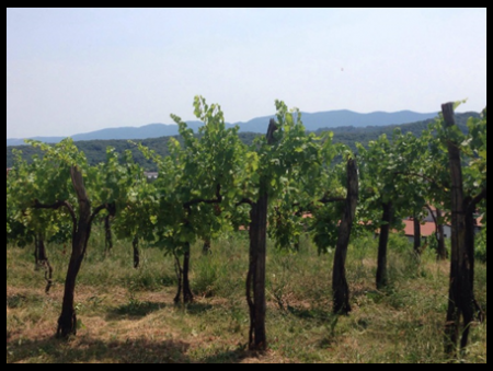 Naš prečudovit vinograd