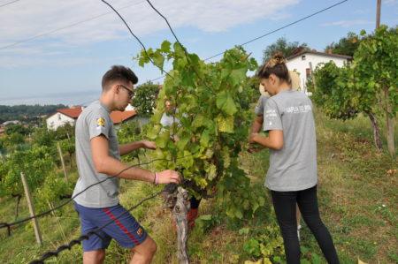 Odstranjevanje odvečnih grozdov in razlistanje trte