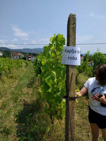''Naša'' vrsta v vinogradu :)